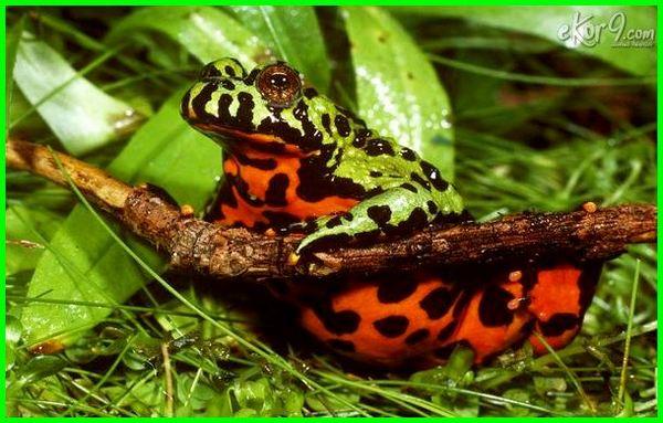 jenis katak beracun didunia, apakah katak beracun, katak beracun di hutan amazon, katak beracun paling mematikan, bahaya katak beracun, 10 katak beracun di dunia