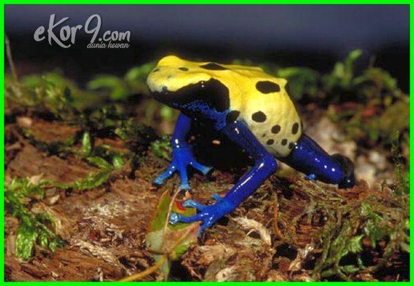 katak beracun wikipedia, wallpaper katak beracun, gambar katak yang beracun, katak yang beracun kodok yang beracun, jenis katak yang beracun, kodok yg beracun, 10 katak beracun, 7 katak paling beracun di dunia