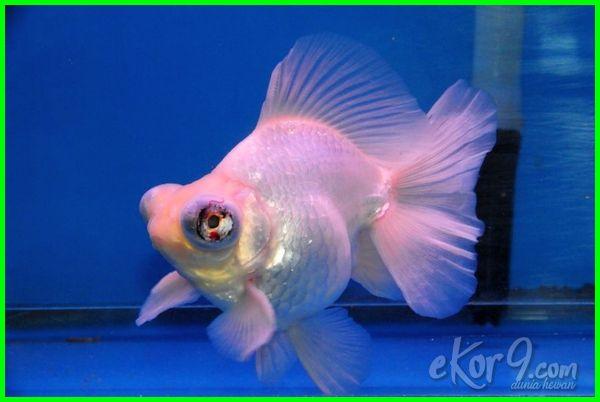 jenis ikan mas koki putih, jenis ikan mas koki jumbo, jenis ikan mas koki jantan, jenis jenis ikan mas koki, jenis ikan mas koki telescope eye