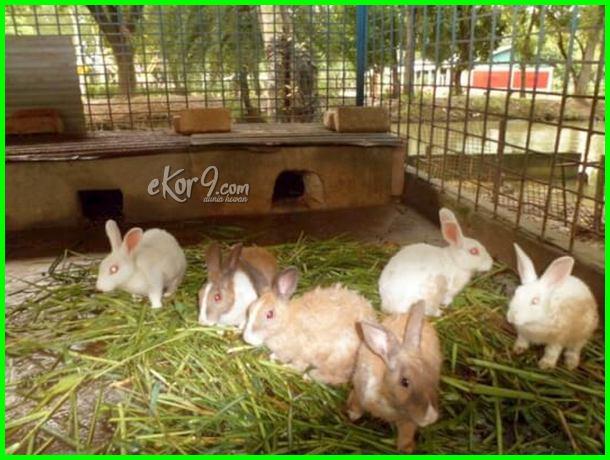 gambar kandang kelinci sehat, gambar kandang kelinci standar, gambar kandang kelinci yang sederhana, gambar kandang kelinci outdoor, gambar kelinci dalam kandang, gambar dan ukuran kandang kelinci, harga dan gambar kandang kelinci