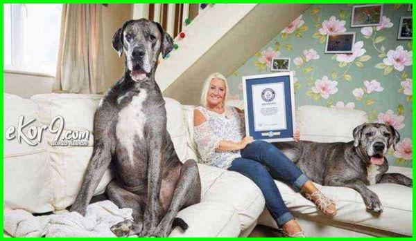 foto anjing terbesar di dunia, gambar anjing terbesar di dunia, daftar anjing terbesar di dunia, anjing terbesar dan tertinggi di dunia, anjing terbesar dan terkuat di dunia, anjing great dane terbesar di dunia, anjing termahal dan terbesar di dunia, anjing terbesar dan terberat di dunia, download foto anjing terbesar di dunia, kumpulan foto anjing terbesar di dunia