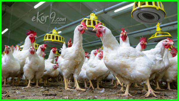 bagaimana agar ayam broiler bertelur betina bisa bertelur, bisakah dapatkah atau apakah broiler dapat mengeluarkan telur, berapa umur usia mulai siap atau tidak bertelur
