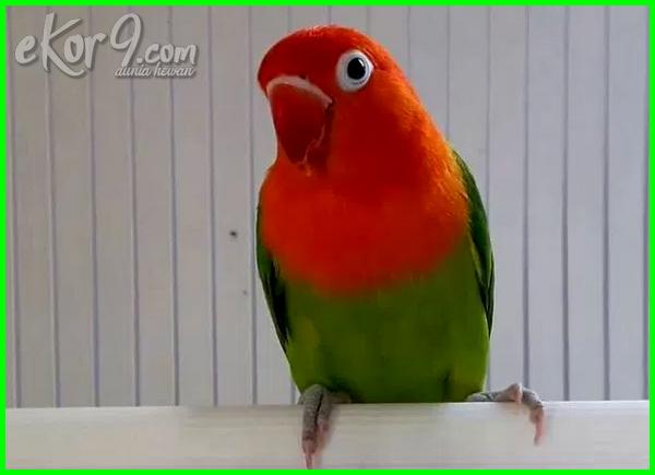 lovebird juara mahal, jual lovebird mahal, lovebird kusumo mahal, harga lovebird mahal, kenapa harga lovebird mahal
