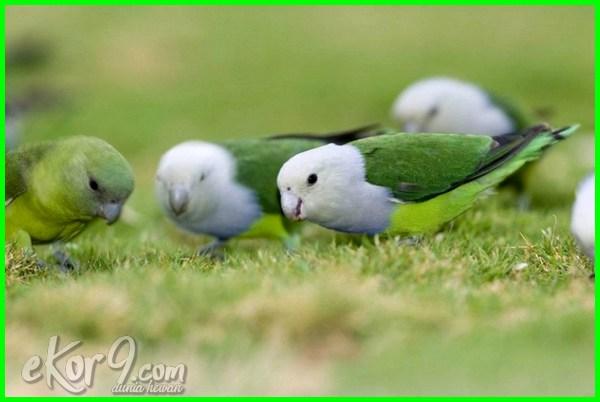 burung lovebird warna cantik, warna cantik burung lovebird, gambar lovebird warna cantik, lovebird yang cantik, gambar burung lovebird yg cantik, warna burung lovebird yang cantik, jenis lovebird terbaik, jenis lovebird terbaik untuk lomba