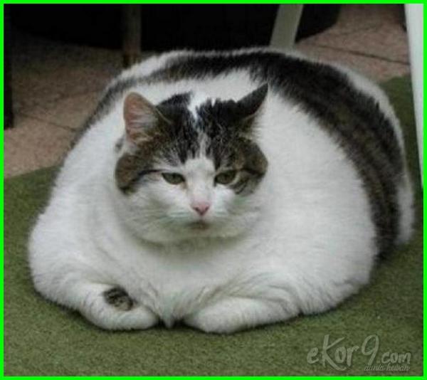 Gambar Kucing Gemuk Yang Comel 81021 Nama Untuk Kucing Comel Lucu Dan Unik