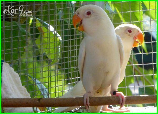 lakbet mahal labet paling burung jenis warna 2018 gambar harga ciri lovebird blorok biru juara kusumo di dunia indonesia apa 2016 parblue yang termahal unik yg