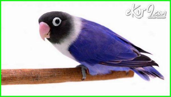 labet mahal ciri paling ter jenis burung gambar yg warna yang harga lovebird blorok biru juara kusumo di indonesia 2018-2019-2020-2021 apa pling termahal unik