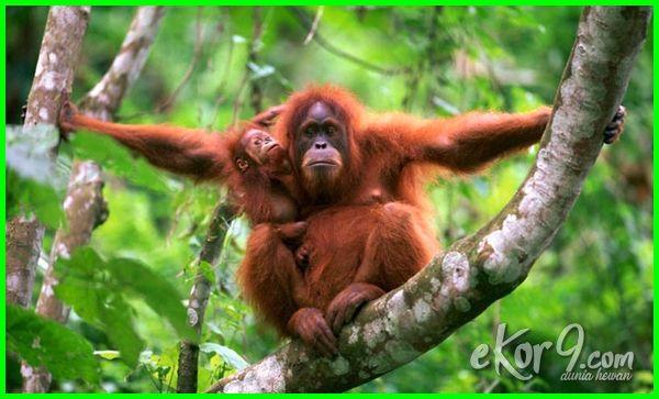 nama hewan langka di indonesia beserta gambarnya, gambar hewan langka di indonesia beserta keterangannya, daftar hewan langka di indonesia beserta habitatnya