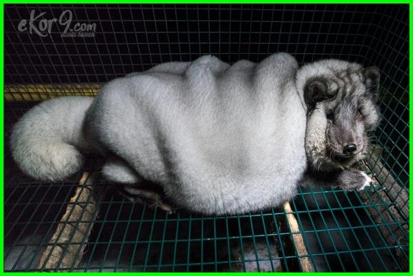 hewan paling gemuk di dunia, hewan gemuk pendek, penjenis hewan gemuk, hewan yang paling gemuk, hewan terlalu gemuk, hewan yg gemuk unik