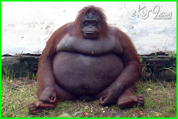 bila binatang gemuk dan bulat, binatang yang gemuk, binatang yg gemuk, binatang paling gemuk, binatang terlalu gemuk, binatang nya gemuk, hewan berbadan gemuk, bila semua binatang gemuk dan bulat, bila binatang semuanya gemuk dan bulat, binatang gendut dan lucu, binatang gendut lucu, haiwan paling gemuk, hewan paling gemuk di dunia