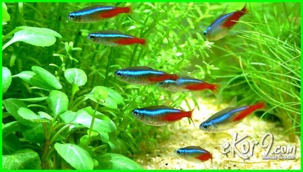 6 Ikan Yang Bisa Disatukan Dengan Cupang Dunia Fauna Hewan Binatang Tumbuhan Dunia Fauna Hewan Binatang Tumbuhan