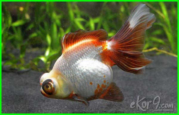 Jenis ikan mas koki terlengkap di indonesia dan dunia, 18 jenis ikan mas koki, 10 jenis ikan mas koki, 20 jenis ikan mas koki, 5 jenis ikan mas koki