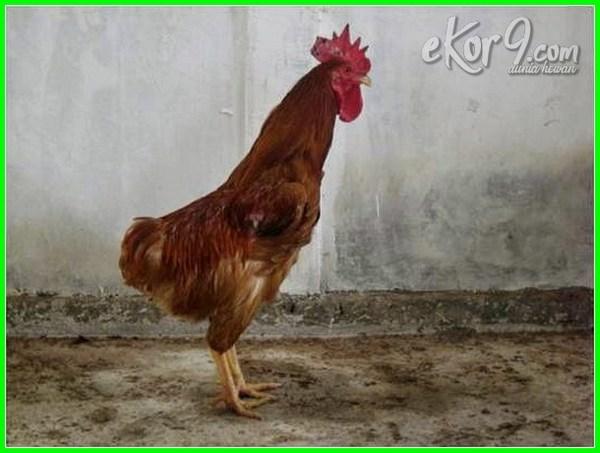 berbagai jenis ayam di indonesia, jenis ayam di indonesia, jenis ayam asli indonesia, jenis ayam hias indonesia, jenis ayam aduan indonesia, jenis ayam petarung indonesia