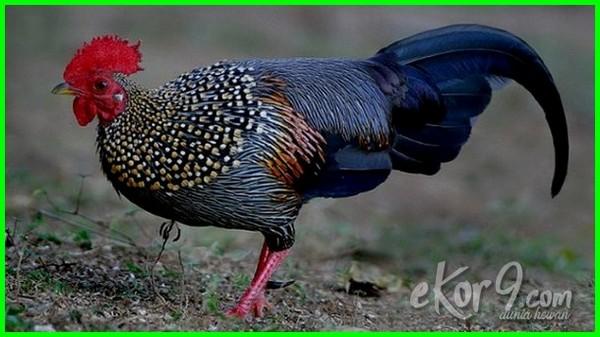 jenis ayam hutan dunia,jenis ayam hutan asli, jenis ayam hutan yang ada di indonesia, aneka jenis ayam hutan, jenis anak ayam hutan, ada berapa jenis ayam hutan, jenis ayam hutan jenis ayam hutan, jenis ayam pemikat ayam hutan, berbagai jenis ayam hutan, jenis ayam hutan dan harganya