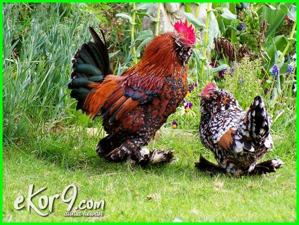 artikel jenis ayam kate, jenis ayam kate impor, gambar jenis jenis ayam kate, foto jenis jenis ayam kate