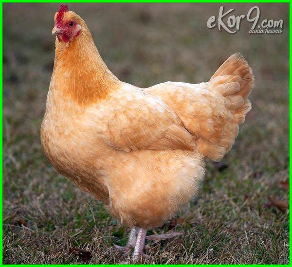 jenis strain ayam ras petelur, jenis ayam ras petelur unggul, jenis strain ayam petelur, jenis tipe ayam petelur, jenis unggas ayam petelur, 10 jenis ayam petelur, jelaskan dua jenis ayam petelur, dua jenis ayam petelur, jenis ayam petelur yg baik, jenis ayam petelur dan fungsinya