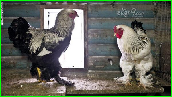 jenis ayam terbesar di dunia, ayam terbesar di dunia yang pernah ada, ayam ayam terbesar di dunia, anak ayam terbesar di dunia, ayam apa terbesar di dunia, ayam apa yang terbesar di dunia, ayam broiler terbesar di dunia, ayam bloiler terbesar di dunia, ayam terbesar dan tertinggi di dunia, ayam terbesar dan terberat di dunia