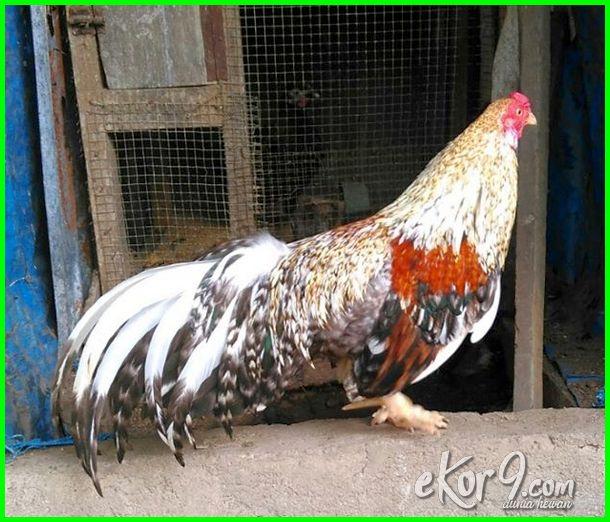 berbagai jenis ayam di indonesia, jenis ayam di indonesia, jenis ayam asli indonesia, jenis ayam hias indonesia, jenis ayam aduan indonesia, jenis ayam petarung indonesia, gambar jenis ayam asli indonesia, jenis ayam besar indonesia, foto jenis ayam di indonesia, gambar jenis ayam indonesia