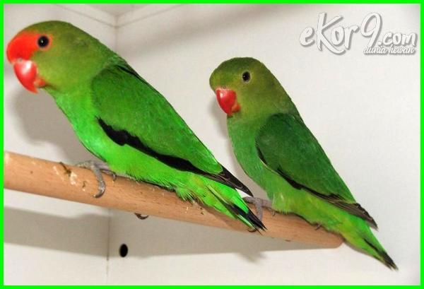 25 Jenis Lovebird Terbaik Paling Cantik Yang Bagus Untuk Kontes Dunia Fauna Hewan Binatang Tumbuhan Dunia Fauna Hewan Binatang Tumbuhan