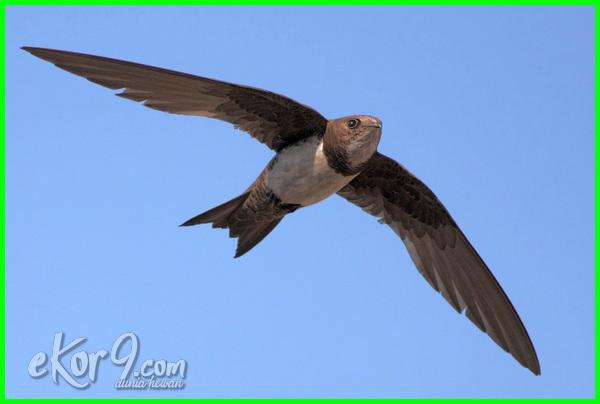 burung hidup di udara, jenis-jenis burung yang hidup di udara, macam burung hidup di darat atau udara