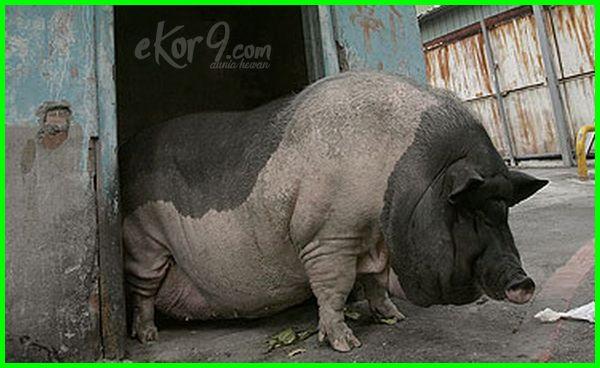 babi Paling Besar Tergemuk di Dunia,hewan obesitas di dunia, pakan hewan obesitas, download animasi hewan obesitas, foto hewan obesitas,cara membuat hewan obesitas , hewan yang mengalami obesitas, cara bikin hewan obesitas hewan hewan obesitas, obesitas pada hewan