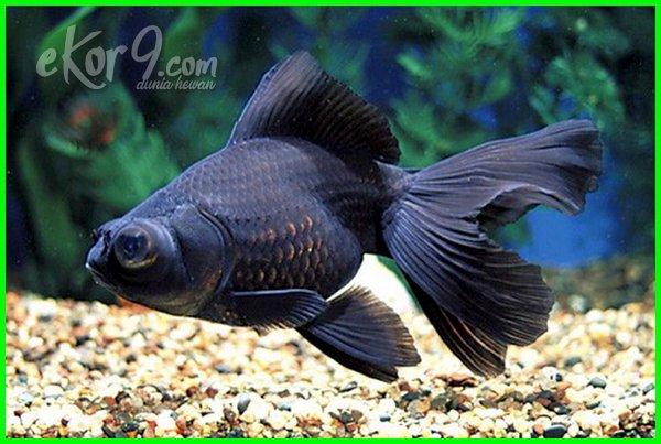 23 Jenis Ikan Mas Koki Yang Paling Bagus Termahal Di Pasaran Lengkap Beserta Gambar Dan Harganya Dunia Fauna Hewan Binatang Tumbuhan Dunia Fauna Hewan Binatang Tumbuhan