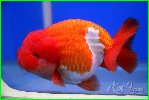 Jenis Ikan Koki Dan Harganya