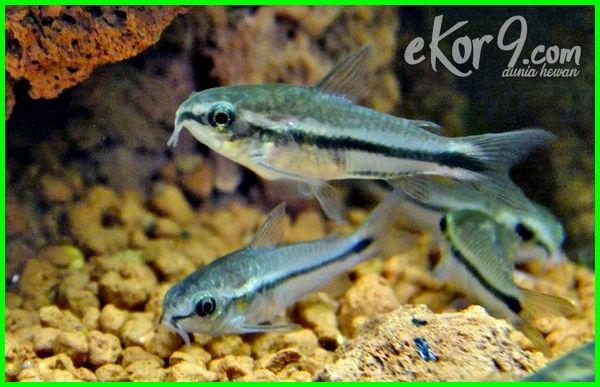 ikan cupang disatukan, ikan cupang disatukan ikan lain, ikan cupang disatukan dengan ikan lain, bisakah ikan cupang disatukan, apakah ikan cupang bisa disatukan