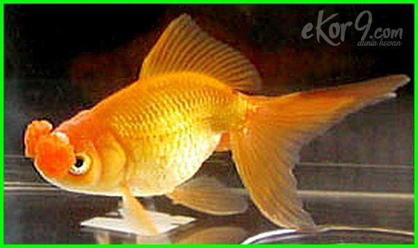 jenis-jenis ikan mas koki dan harganya,jenis jenis ikan mas koki dan gambarnya , jenis jenis ikan mas koki dan ciri cirinya, jenis ikan mas koki langka, jenis ikan mas koki lokal, jenis ikan mas koki lengkap, jenis ikan mas koki paling mahal
