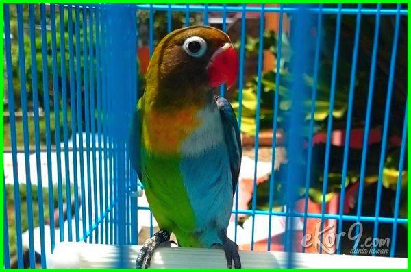 warna lovebird mahal, lovebird warna mahal, jenis warna burung lovebird mahal, warna lovebird paling mahal, warna lovebird yang mahal