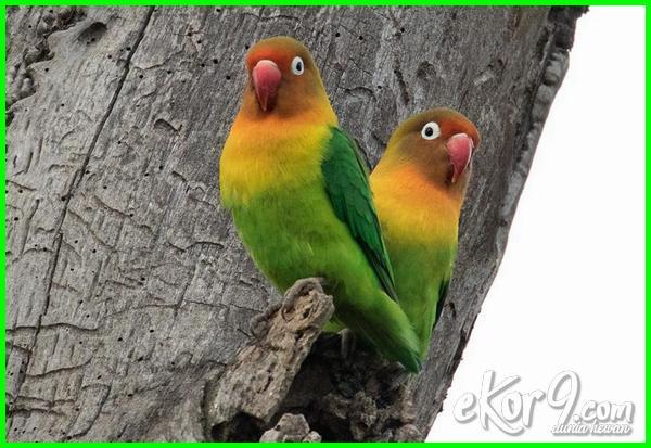lovebird unik mahal, lovebird warna mahal, lovebird yang mahal, lovebird yg mahal, warna lovebird yg mahal, gambar lovebird yang mahal