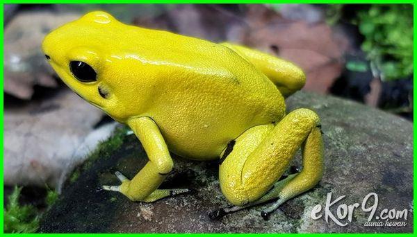 ciri katak beracun, katak beracun dunia, katak beracun emas, contoh katak beracun, ciri2 katak beracun, katak beracun jenis, jenis2 katak beracun