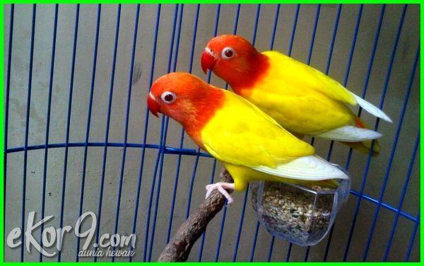 kenapa lovebird lutino mahal