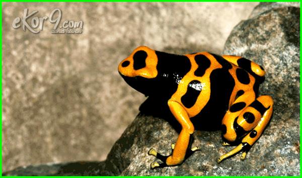 jenis katak yang beracun, katak beracun di malaysia, katak beracun kalimantan, katak beracun di dunia, katak beracun indonesia, katak beracun dari indonesia
