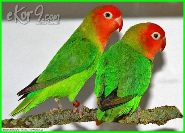gambar foto jenis burung lovebird paling cantik si bersuara merdu warna tercantik