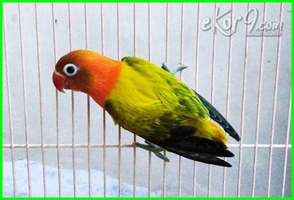 mengapa lovebird mahal, mahal mana lovebird jantan atau betina, macam lovebird mahal, lovebird paling mahal, lovebird paling mahal 2016-2018-2019-2020