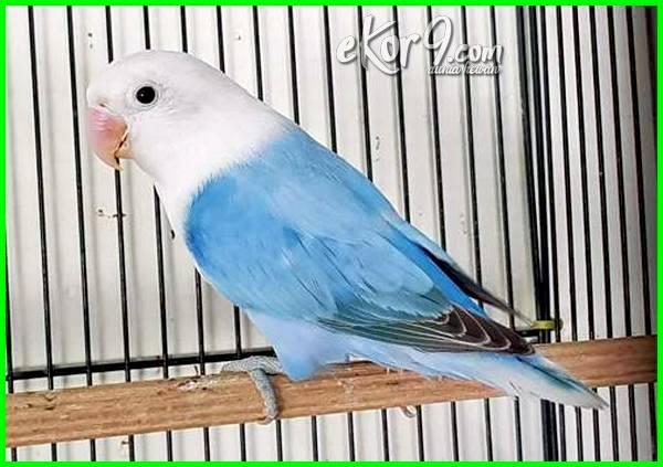 lovebird yang mahal warna apa, lovebird paling mahal jenis apa, lovebird paling mahal warna apa, lovebird biru mahal, lovebird langka dan mahal, lovebird berharga mahal, jenis lovebird paling mahal di indonesia