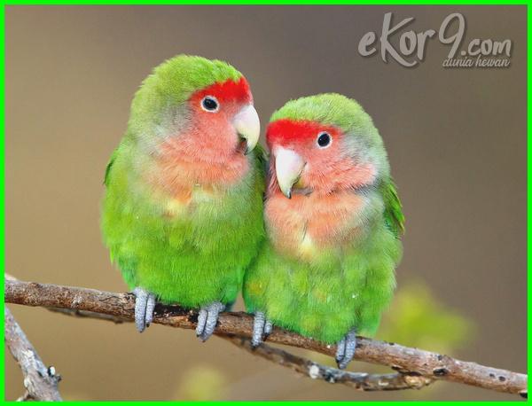 lovebird termahal di dunia foto mahal yg harganya jenis harga burung warna juara jual kusumo kenapa lutino mengapa mana jantan atau betina macam paling 2016 parblue blorok sangkar love bird ternak unik yang gambar