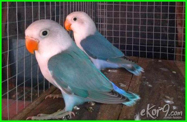 warna lovebird yg mahal, gambar lovebird yang mahal, jenis burung lovebird yg mahal, gambar burung lovebird yang mahal