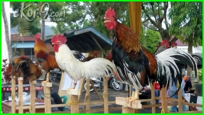 macam ayam dunia jenis aduan di diseluruh hutan hias laga petarung seluruh terbaik