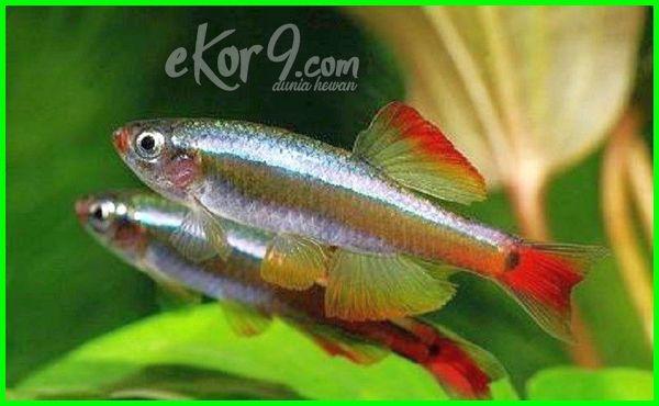 ikan cupang yang disatukan dengan lain seperti neon tetra, apakah cupang bisa dapat dicampur koki guppy, apa benar atau tidak bisakah bolehkah ikan hias cupang dicampur