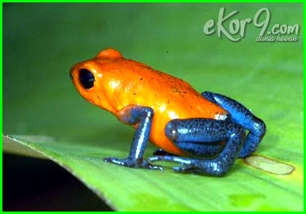 katak beracun dunia, katak beracun di dunia, 10 katak beracun di dunia, katak yang beracun di dunia, katak paling beracun di dunia, jenis katak beracun di dunia, katak berbisa di dunia kodok beracun di dunia, 7 katak paling beracun di dunia
