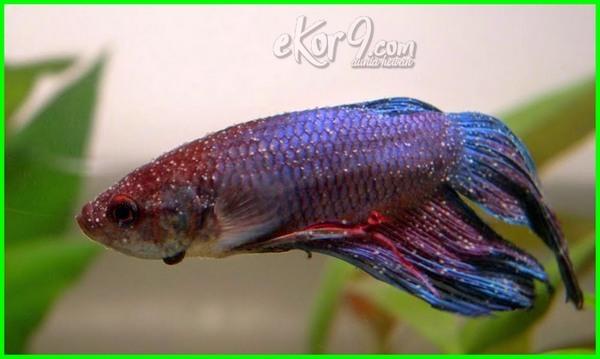 Ketahui 6 Tanda Ikan Cupang Sakit Serta Cara Mengatasinya Dunia Fauna Hewan Binatang Tumbuhan Dunia Fauna Hewan Binatang Tumbuhan