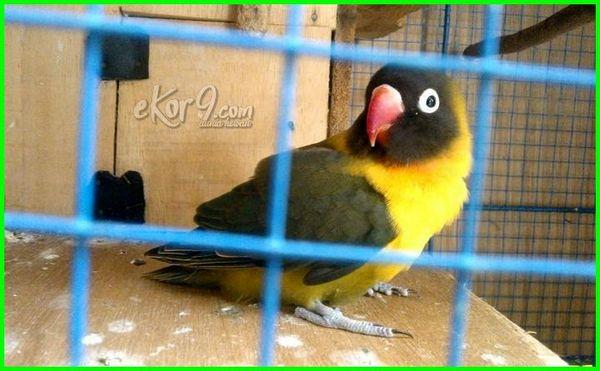 warna lovebird yg paling mahal, warna lovebird yang paling mahal, warna paling mahal burung lovebird, warna burung lovebird yang mahal, lovebird yang mahal warna apa