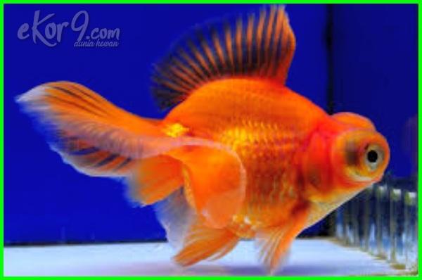 Makanan Ikan Mas Koki