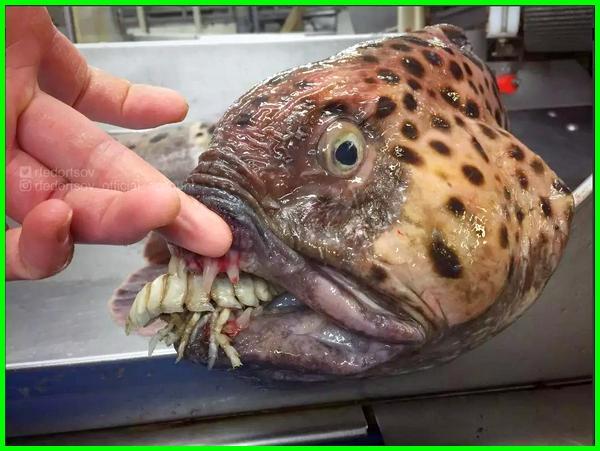 hewan aneh di laut, hewan aneh di laut terdalam, hewan aneh di dasar laut, foto hewan laut yang aneh, gambar hewan laut paling aneh, gambar hewan laut yang aneh, gambar penampakan hewan laut aneh, gambar hewan laut yg aneh, gambar binatang laut aneh