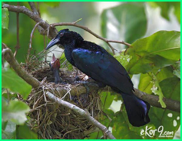 berbagai jenis burung cendrawasih, berapa jenis burung cendrawasih, ciri ciri jenis burung cendrawasih, jenis ciri manfaat burung cendrawasih, jenis dan gambar burung cendrawasih