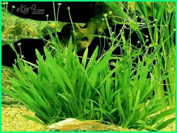 tanaman hias aquarium yang mudah didapat, cara merawat tanaman hias aquarium air tawar, tanaman hias air aquarium, tanaman hias asli aquarium, jenis tanaman hias akuarium air tawar