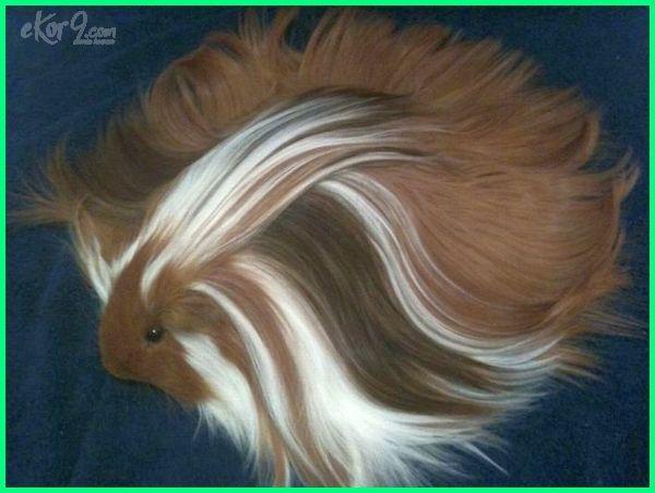 cute guinea pig pictures websites
