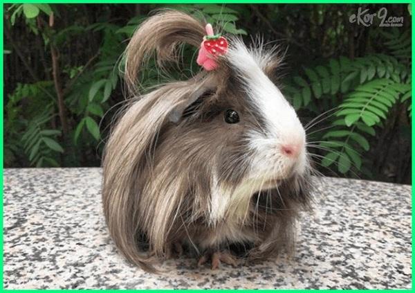 guinea pig as pet, guinea pig accessories, guinea pig bahasa indonesia, guinea pig breeders, guinea pig dalam bahasa indonesia